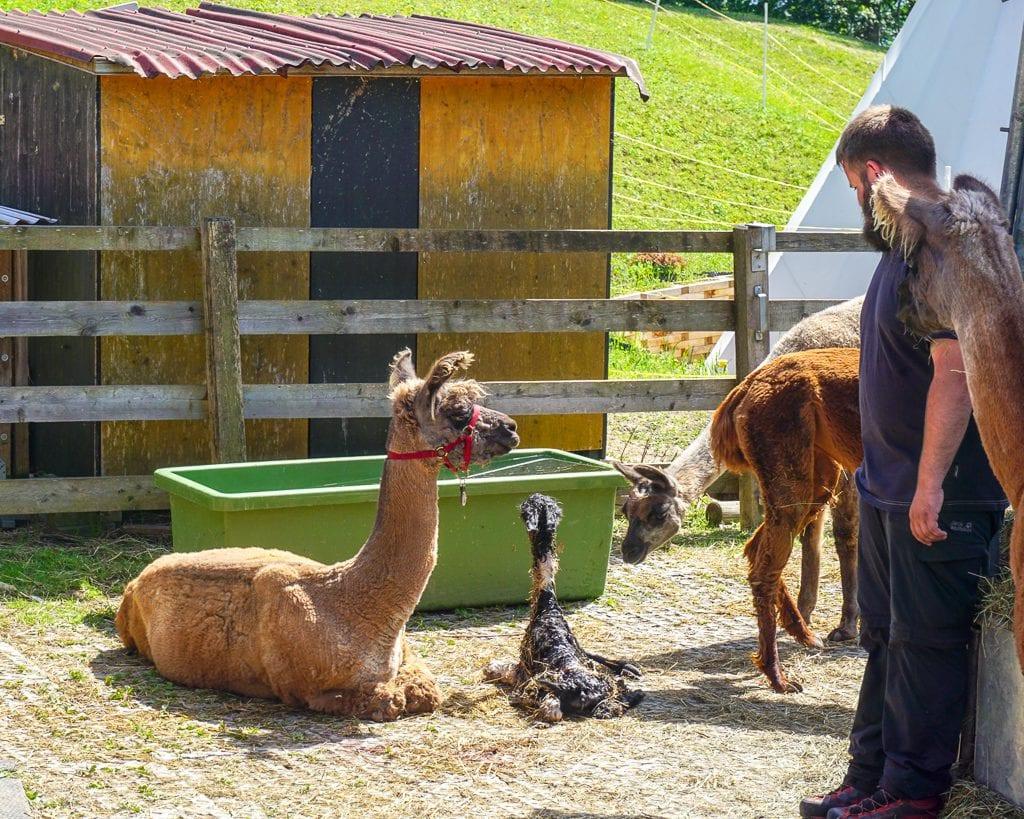 Newborn baby llama after birth in Triesenberg, Liechtenstein